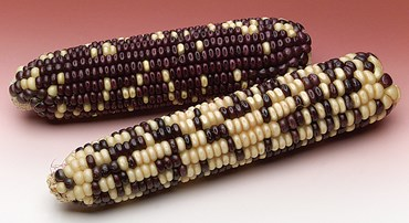 Corn Segregrating Ears, 3 Purple to 1 White