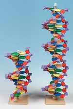 DNA Molecular Model Set (11-Tier) for Biology and Life Science