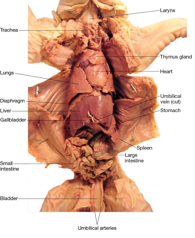 Fetal Pig Anatomy Quiz