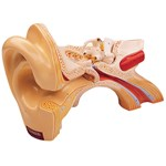 Giant Ear Model with Three Parts for Anatomy Studies