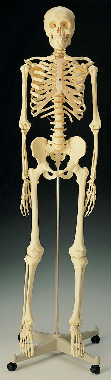 Standard Skeletons For Anatomy Studies In Biology And Life Science