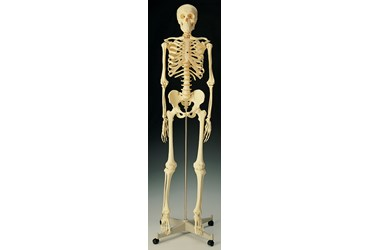 Standard Skeleton for Anatomy Studies, Rod Mount