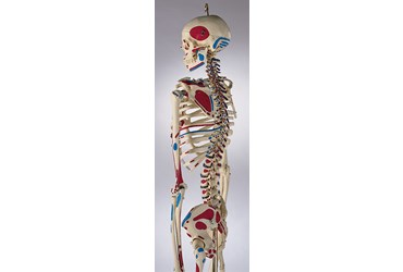 Painted Skeleton for Anatomy Studies, Rod Mount