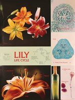 Lily Life Cycle Chart for Biology and Life Science