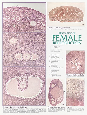 Female Reproductive System Chart for Anatomy Classroom
