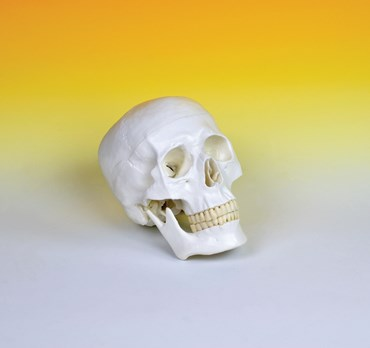 Skull Model for Anatomy Studies