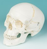 Three-Part Numbered Skull for Anatomy Studies