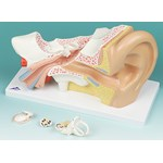 Ear Model with Four Parts for Anatomy Studies