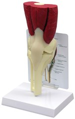 Muscled Knee Joing Model for Anatomy