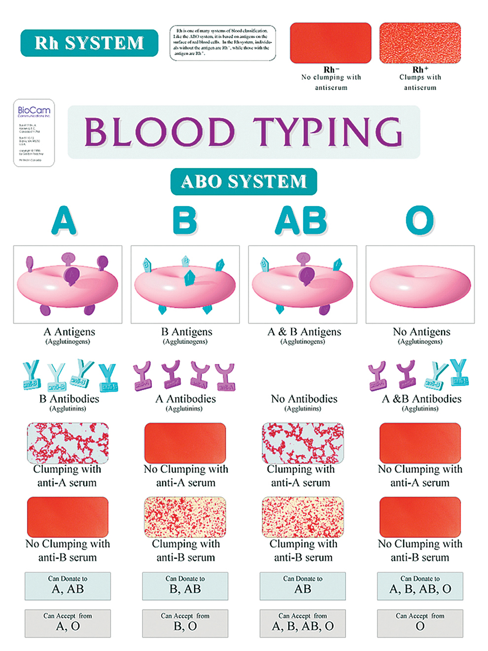 Abo Blood Typing Wall Chart
