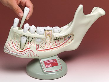 Lower Youth Jaw with Removable Teeth for Anatomy Studies