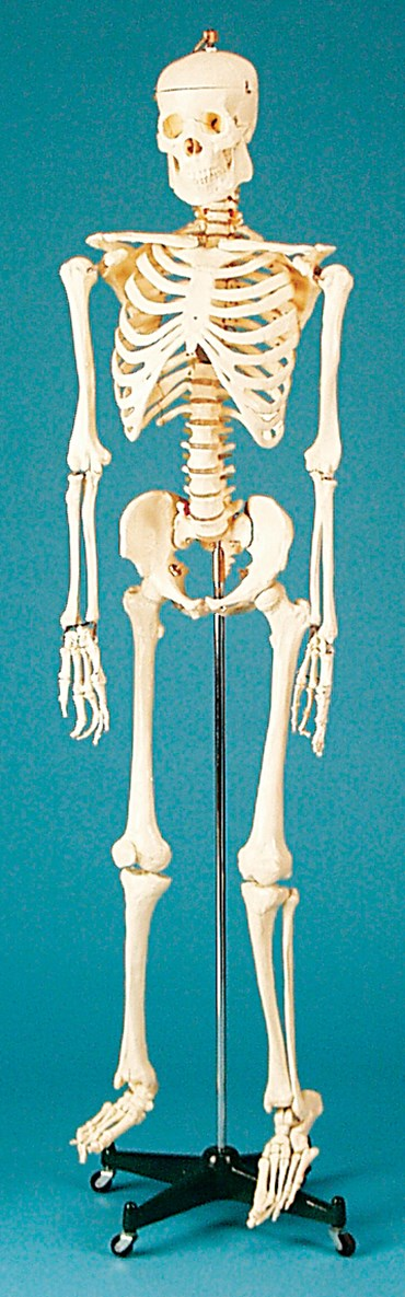 Skeleton for Anatomy Studies (Economy Choice)