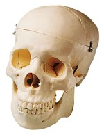 Human Skull Model for Anatomy Studies