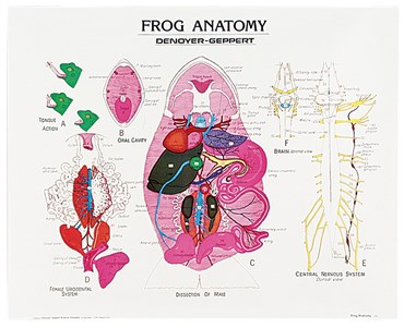 Frog Anatomy Chart for Biology and Life Science
