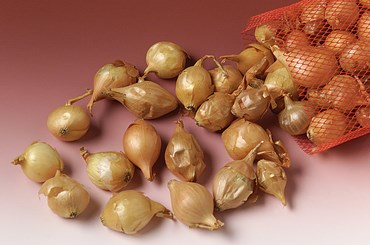 Onion Bulb Set for Biology and Life Science