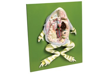 Frog Dissection Model For Biology and Life Science