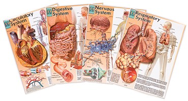 Human Body Systems Poster Series for Anatomy Studies