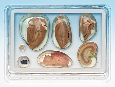 Pro-Sect® Sectioned Sheep Organ Survey Mount for Biology Lab