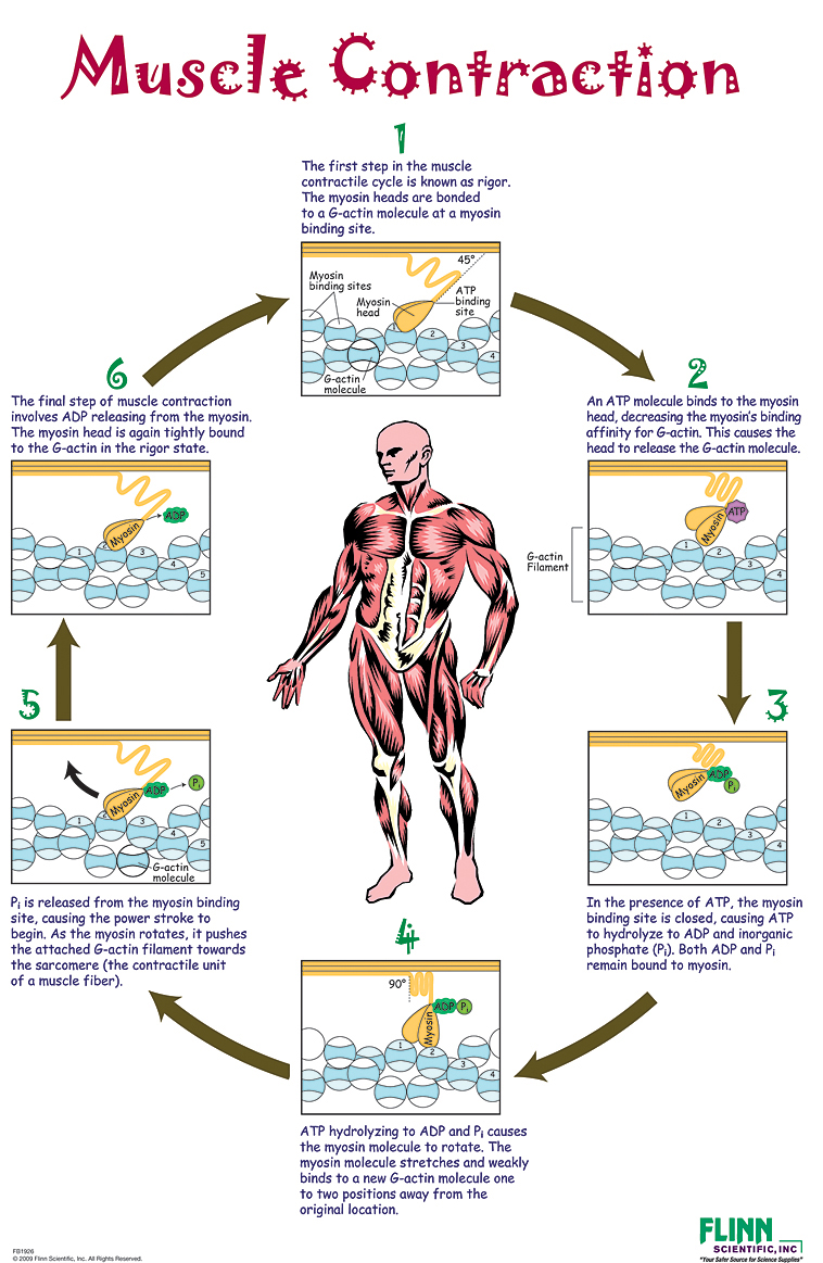 Muscle Contraction Poster
