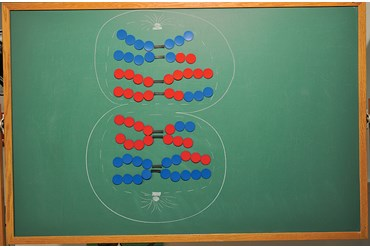 Magnetic Meiosis Models Demonstration Kit for Biology and Life Science