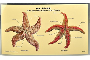 Loligo Squid Dissection Photo Guide for Biology and Life Science