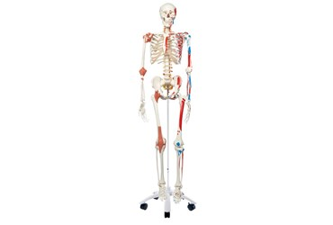 3B Scientific® Super Skeleton Sam Rod Mount Model for Anatomy and Physiology