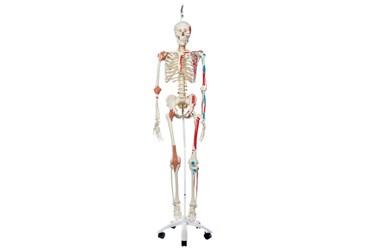 3B Scientific® Super Skeleton Sam, Hanging Mount