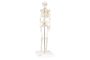 3B Scientific® Mini Skeleton for Anatomy and Physiology
