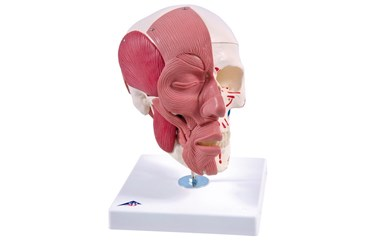 3B Scientific® Skull with Facial Muscles for Anatomy and Physiology