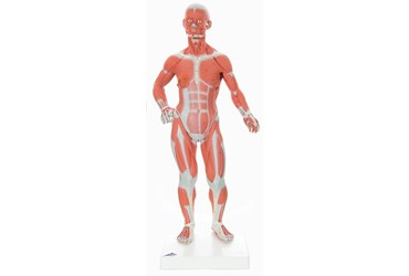 3B Scientific® One-Third Life-Size Muscle Figure for Anatomy and Physiology