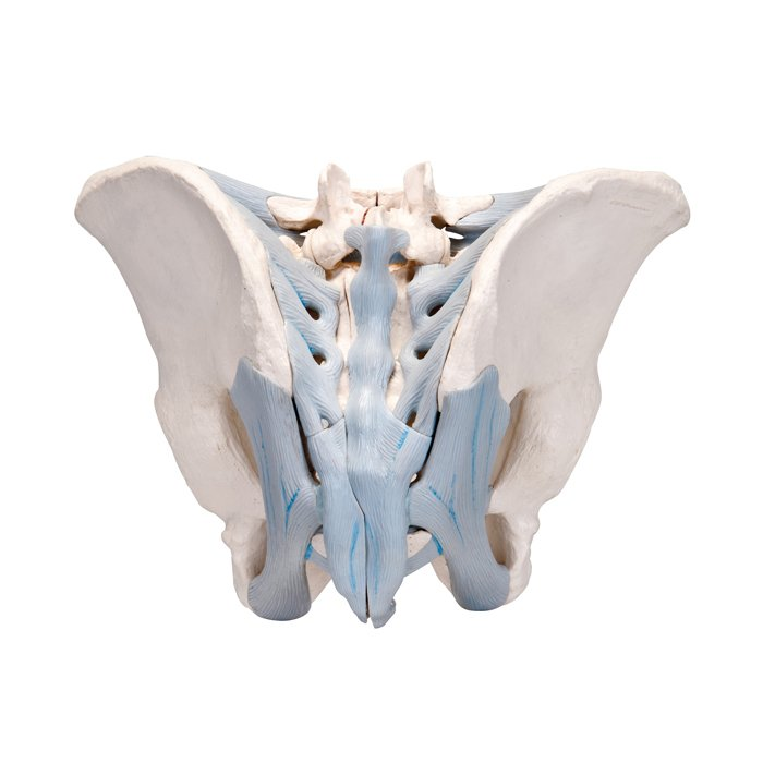 3b Scientific Male Pelvis With Ligaments