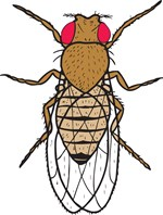 Drosophila, Wild-Type