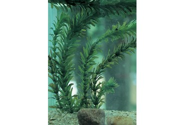 Live Elodea (Anacharis) Aquatic Plant for Biology and Life Science