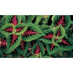 Live Coleus Plant for Biology and Life Science