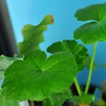 Live Geranium Plant for Biology and Life Science