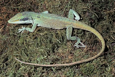 American Chameleon (Anole)