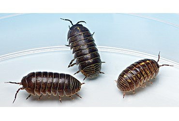 Isopods, Class of 30