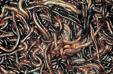 Live Earthworms, Pkg. of 30