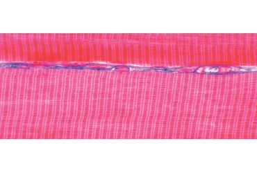 Striated Muscle Microscope Slide