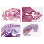 Embryology Slide Sets