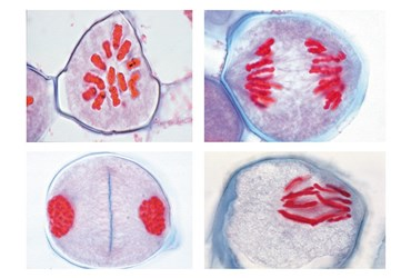 Development of the Microspore Mother Cells of Lilium candidum Slide Set for Biology and Life Science