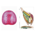 Embryology Multimedia Microscope Slide Instructor Package for Biology and Life Science