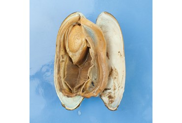 clams, bivalves, mollusca, mollusca