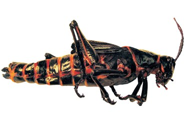 Preserved Lubber Grasshopper for Dissection