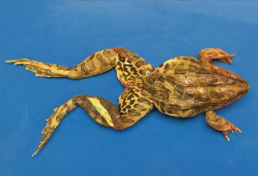 Preserved Bullfrog for Dissection with Plain Vascular System, 5-6""
