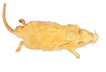 Preserved Rat for Dissection with Plain Vascular System