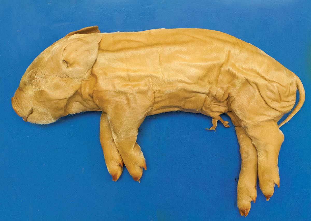 Fetal Pig  Preserved  Single Injected  7 U201310 U0026quot   Medium