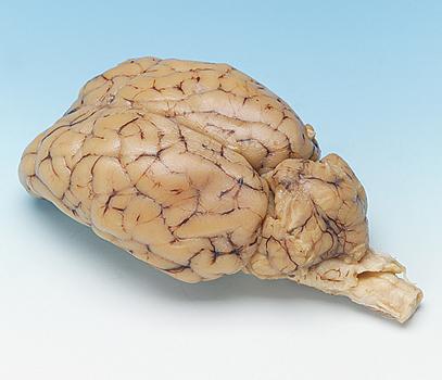Brain Sheep Organ