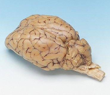 Preserved Sheep Brain with Cranial Nerve Roots for Dissection