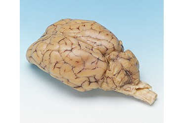 Preserved Sheep Brain for Dissection